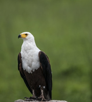 Depth of Field Photography of White and Brown Eagle Perching on Gray Stone