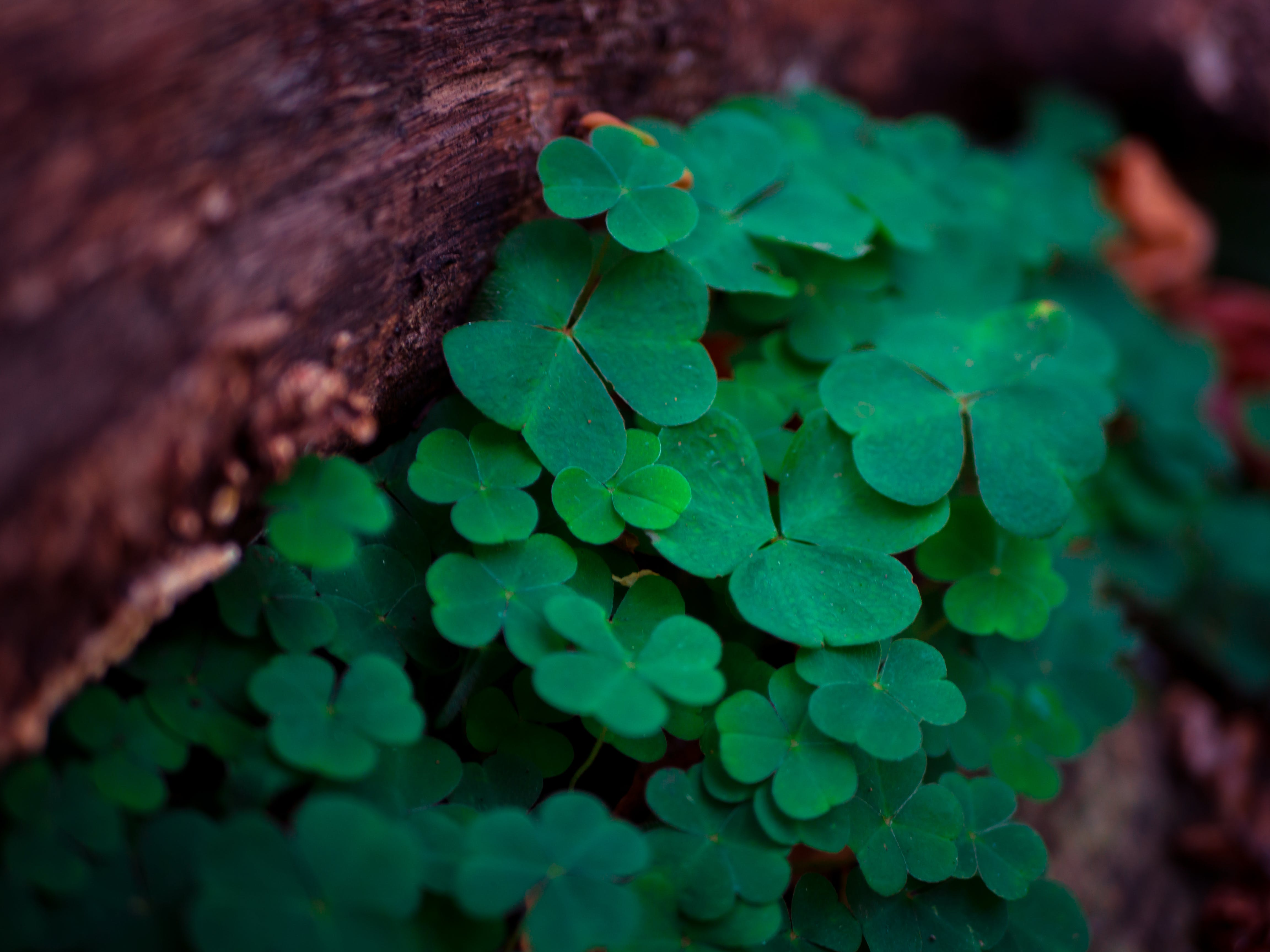 clover, depth of field, leaves
