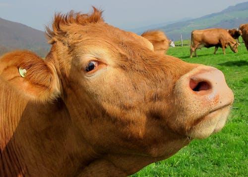 Kostenloses Stock Foto zu bauernhof, farm, kuh, landwirtschaft