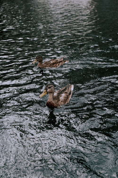 2 Brown and Black Duck on Water