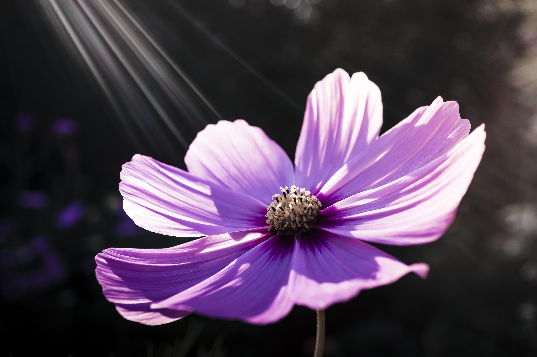Foto d'estoc gratuïta de cosmos, flor, flora, florir