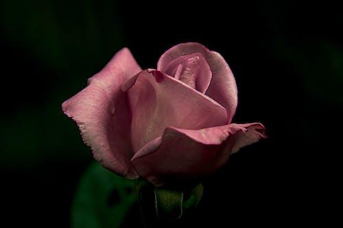 Close-Up Shot of Pink Rose in Bloom