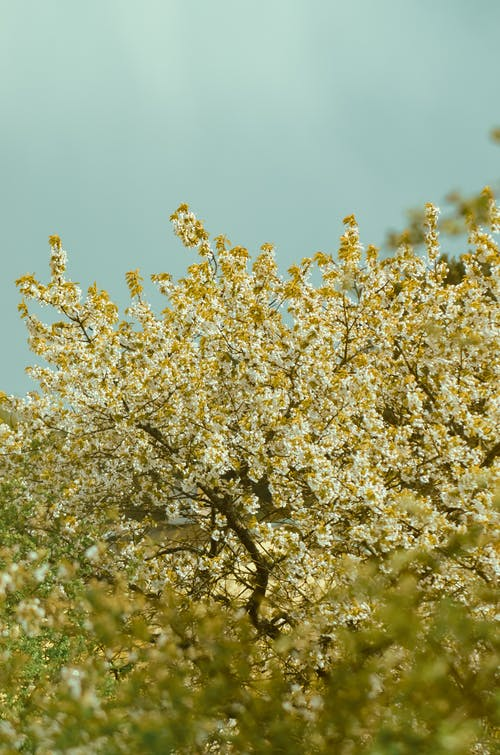 Blooming cherry tree with white flowers under blue sky