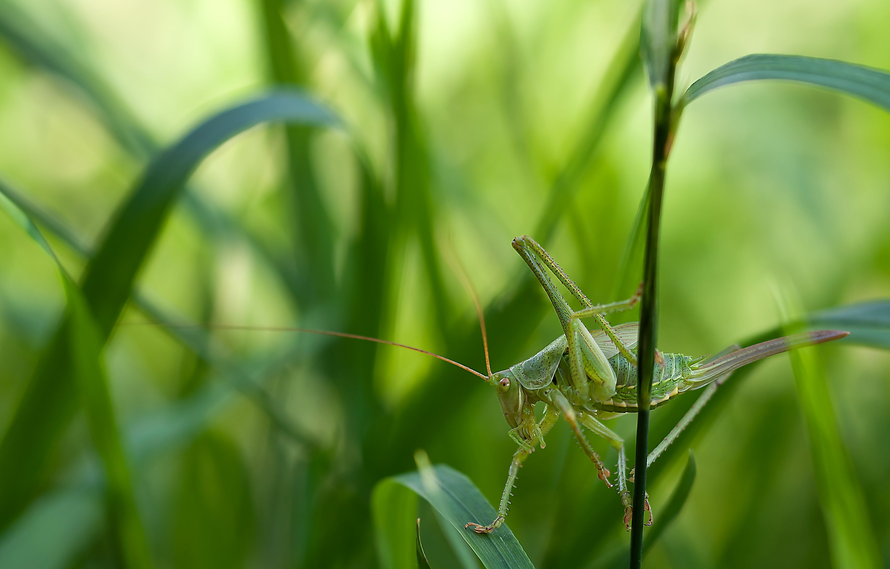 Green Grass Hopper on Green Leaf Grass