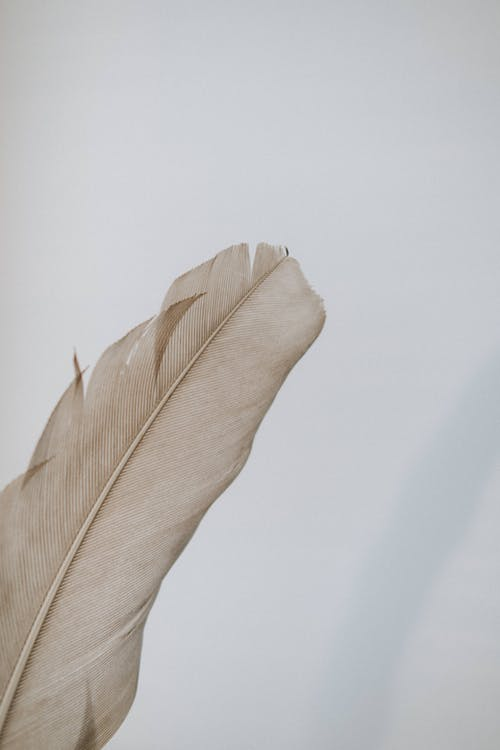Delicate beige natural bird feather against while background with soft texture in daytime