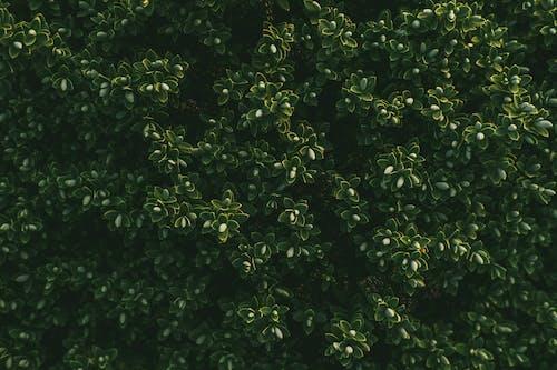 Lush boxwood evergreen shrub growing in garden