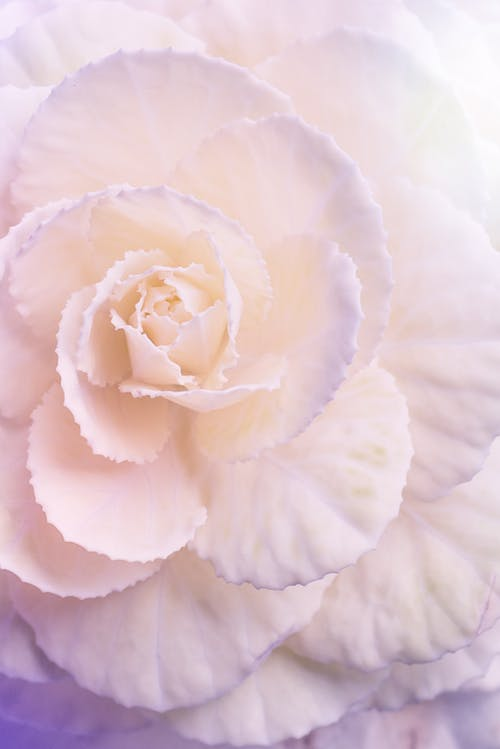 From above of gentle aromatic Tuberous begonia flower with delicate white petals with violet edges in daylight
