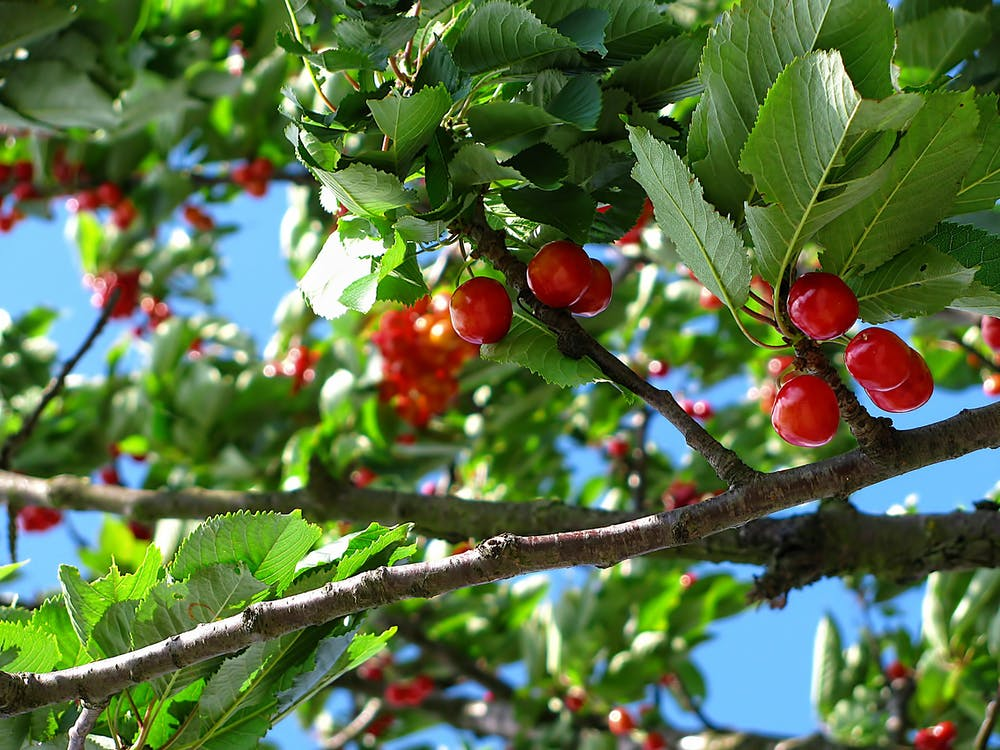 Red Cherry Fruit on Brown Tree Branch