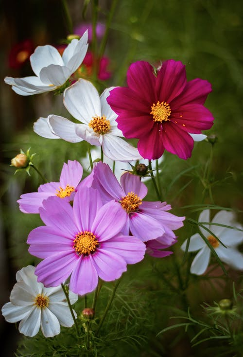 Close-Up Shot of Cosmos in Bloom