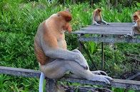 nature, animal, monkey