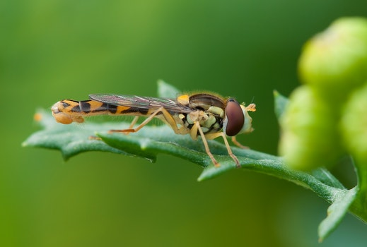 Brown and Yellow Robber Fly Perched on Green Leaf during Daytime