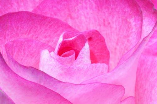 フローラ, ローズ, 咲く, 花の無料の写真素材