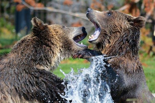 2 Black Brown Bear on Body of Water