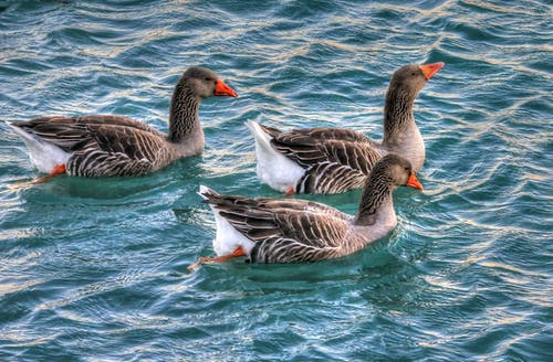 ガチョウ, 動物, 水の無料の写真素材