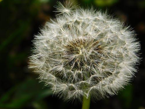 White Dandelion in Close Up