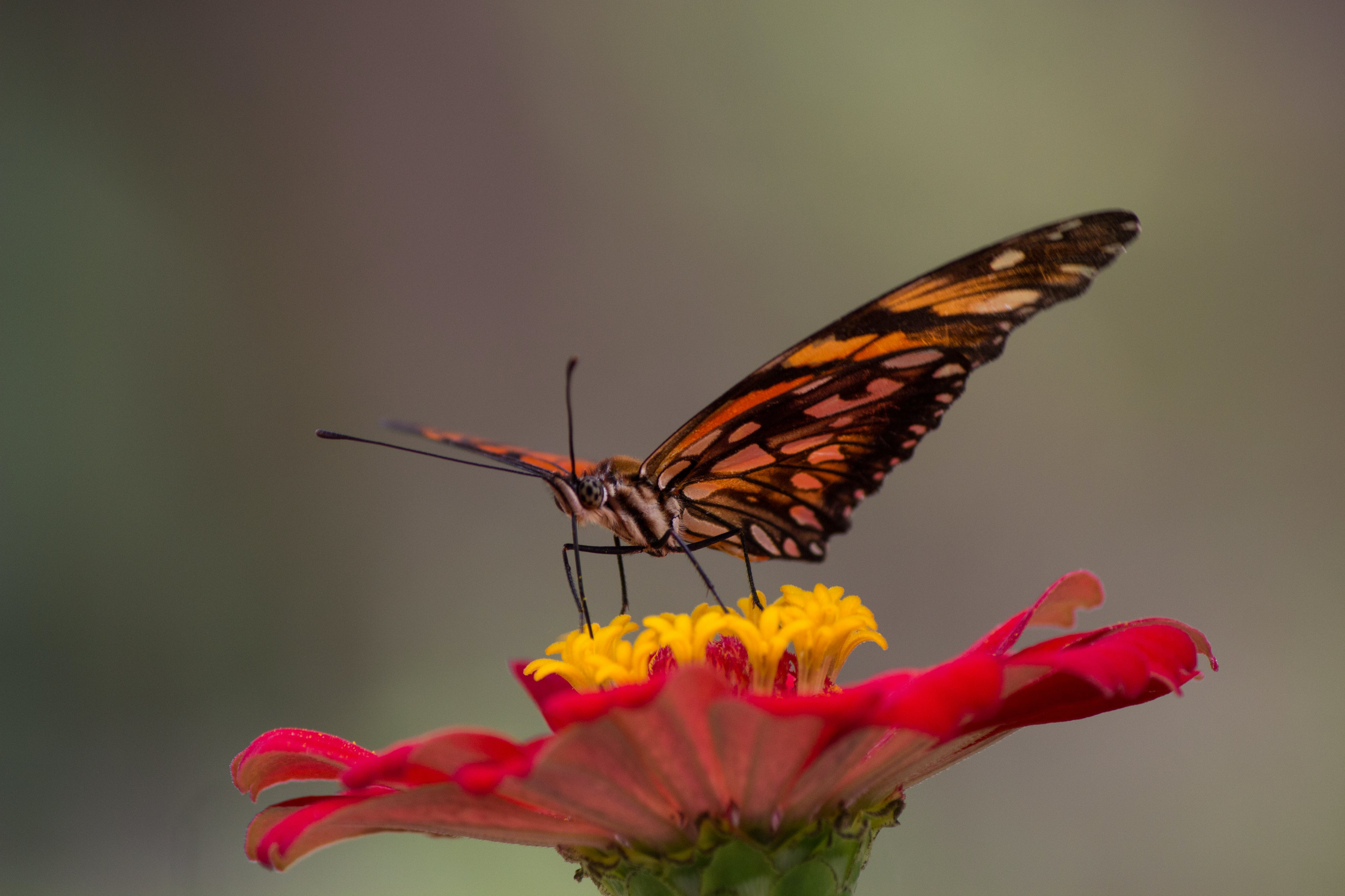 Free stock photo of butterfly, butterfly on a flower, colombia, flor
