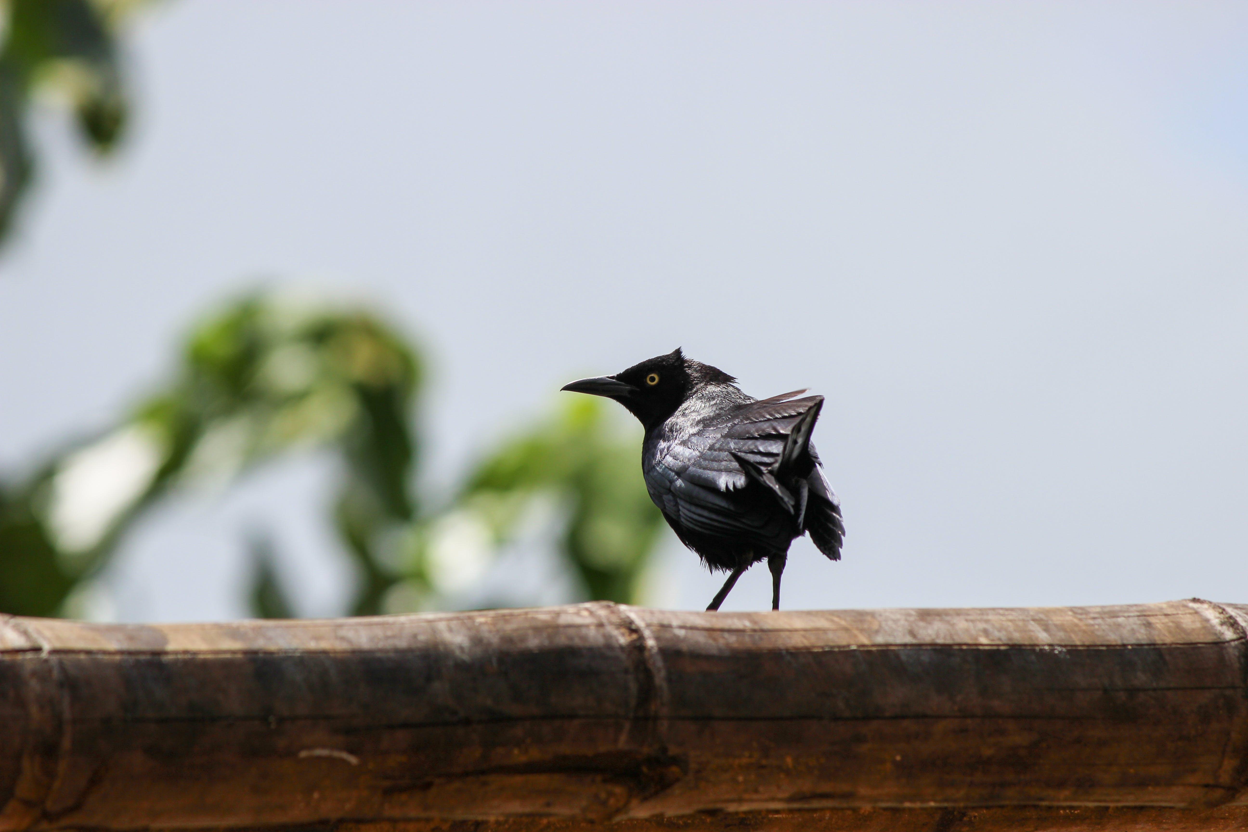 Free stock photo of black bird, pájaro