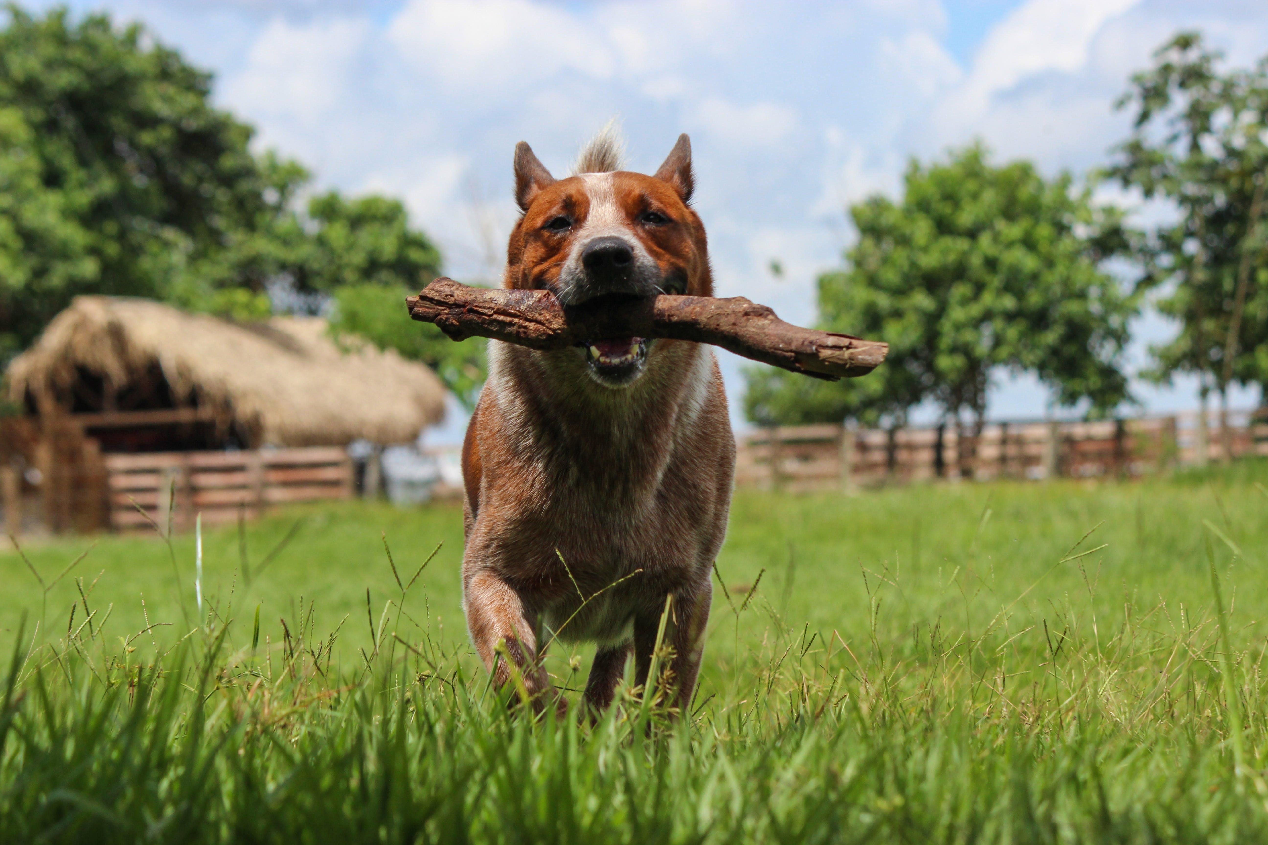 Free stock photo of acd, australia, australian, Cattle dog