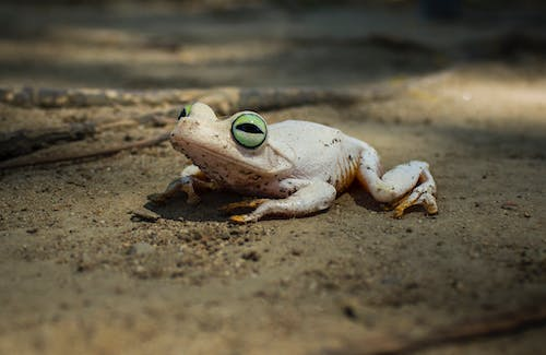 Free stock photo of frog, green eyes