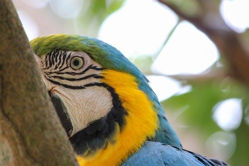Free stock photo of ara ararauna, azulamarillo, blue and yellow macaw