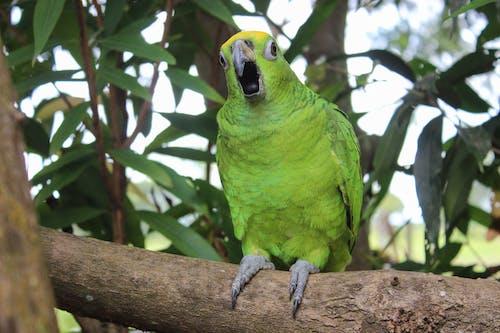 Free stock photo of amarilla, amazona ochrocephala, casanare