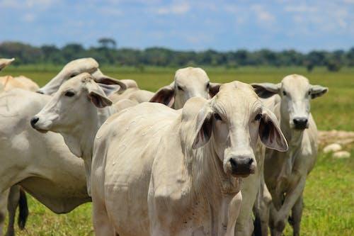 Free stock photo of bull, casanare, cebu