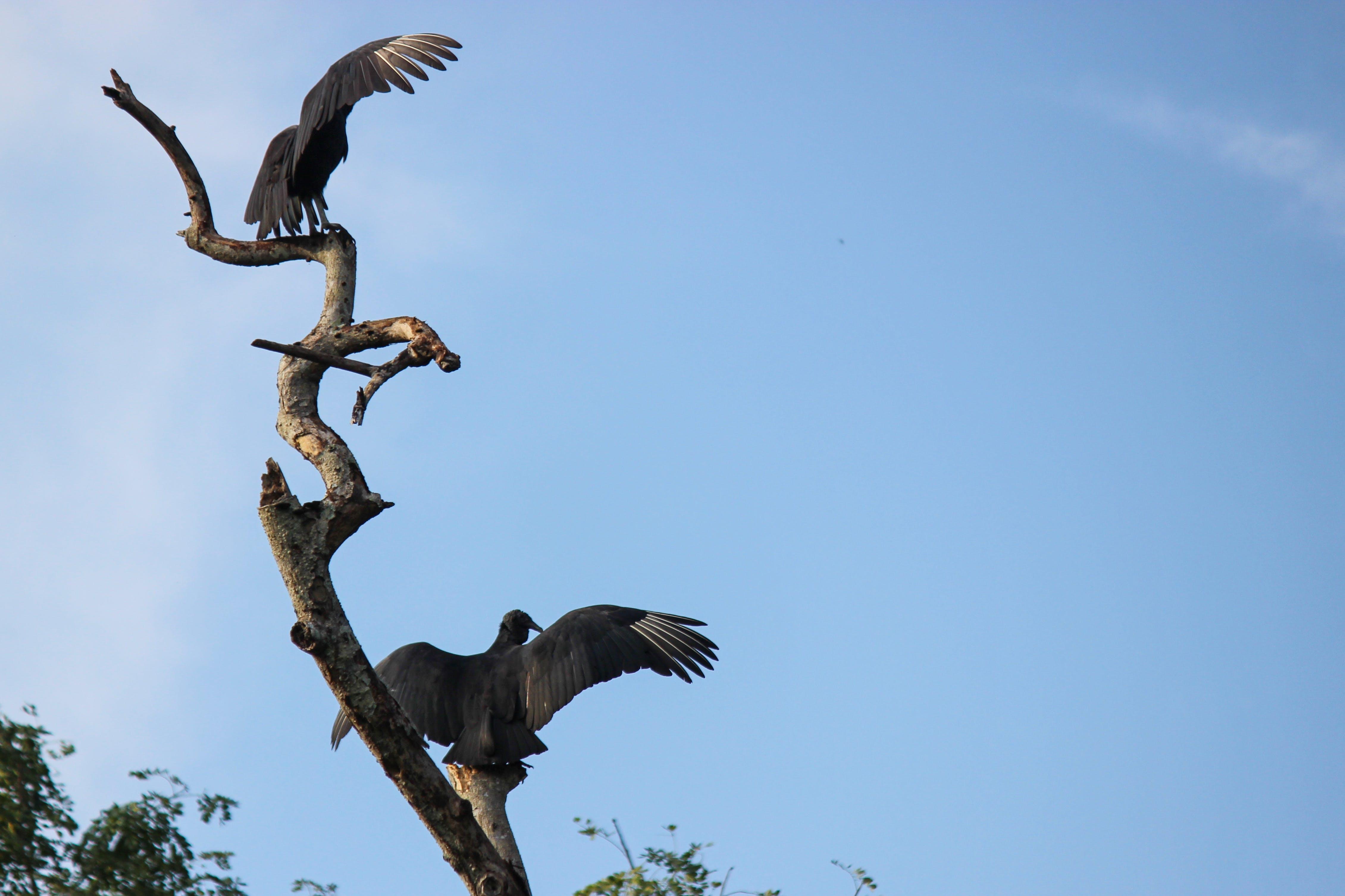 Free stock photo of black vulture, buitre negro americano, chulo, coragyps atratus