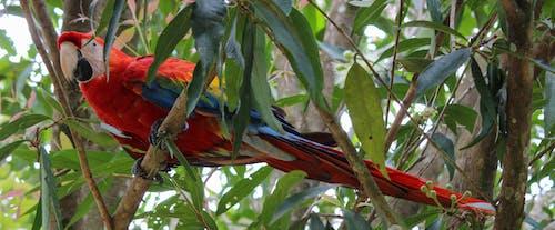 Základová fotografie zdarma na téma ara, guacamaya, macau, papoušek