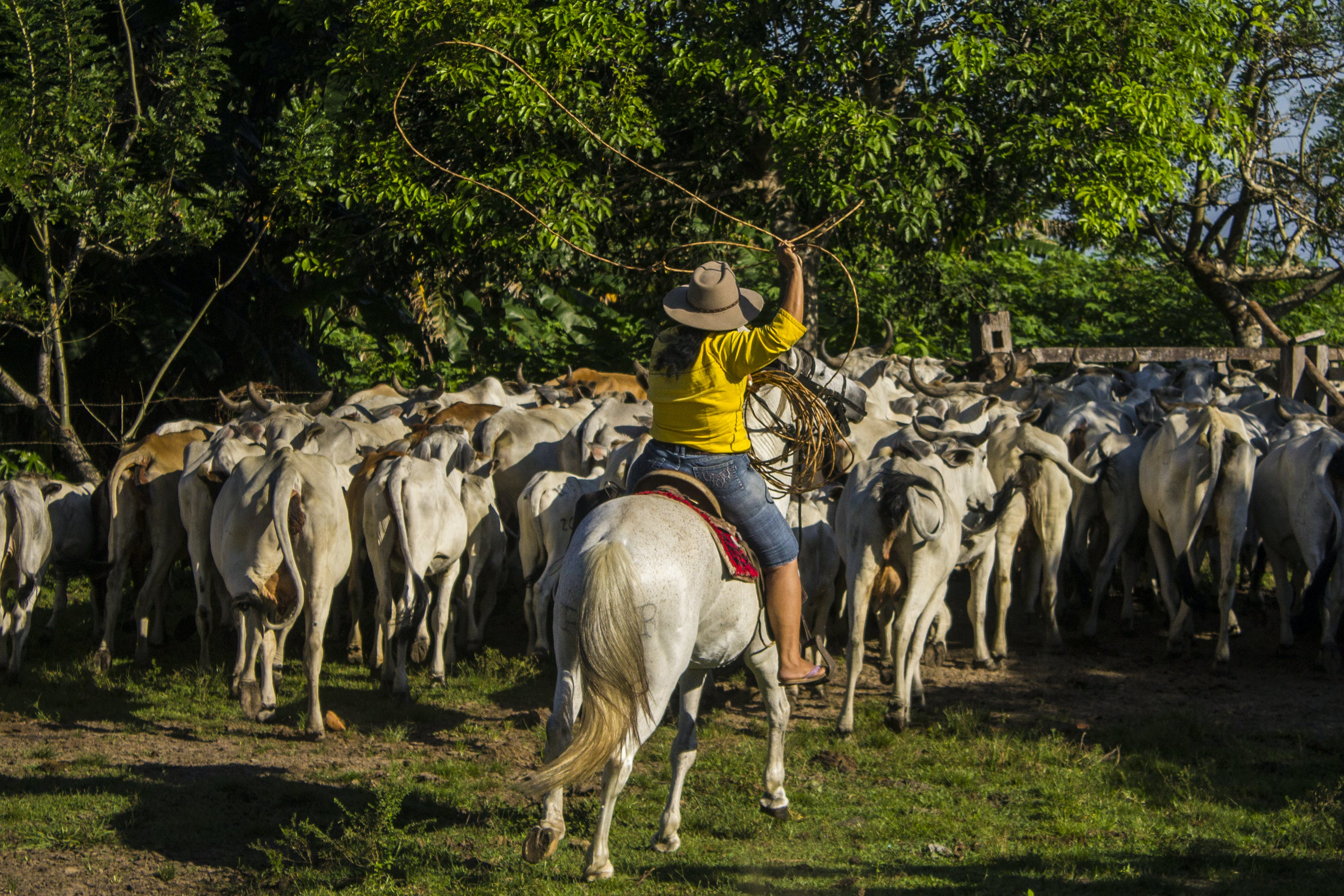 Free stock photo of bull, casanare, colombian cowgirl, horse