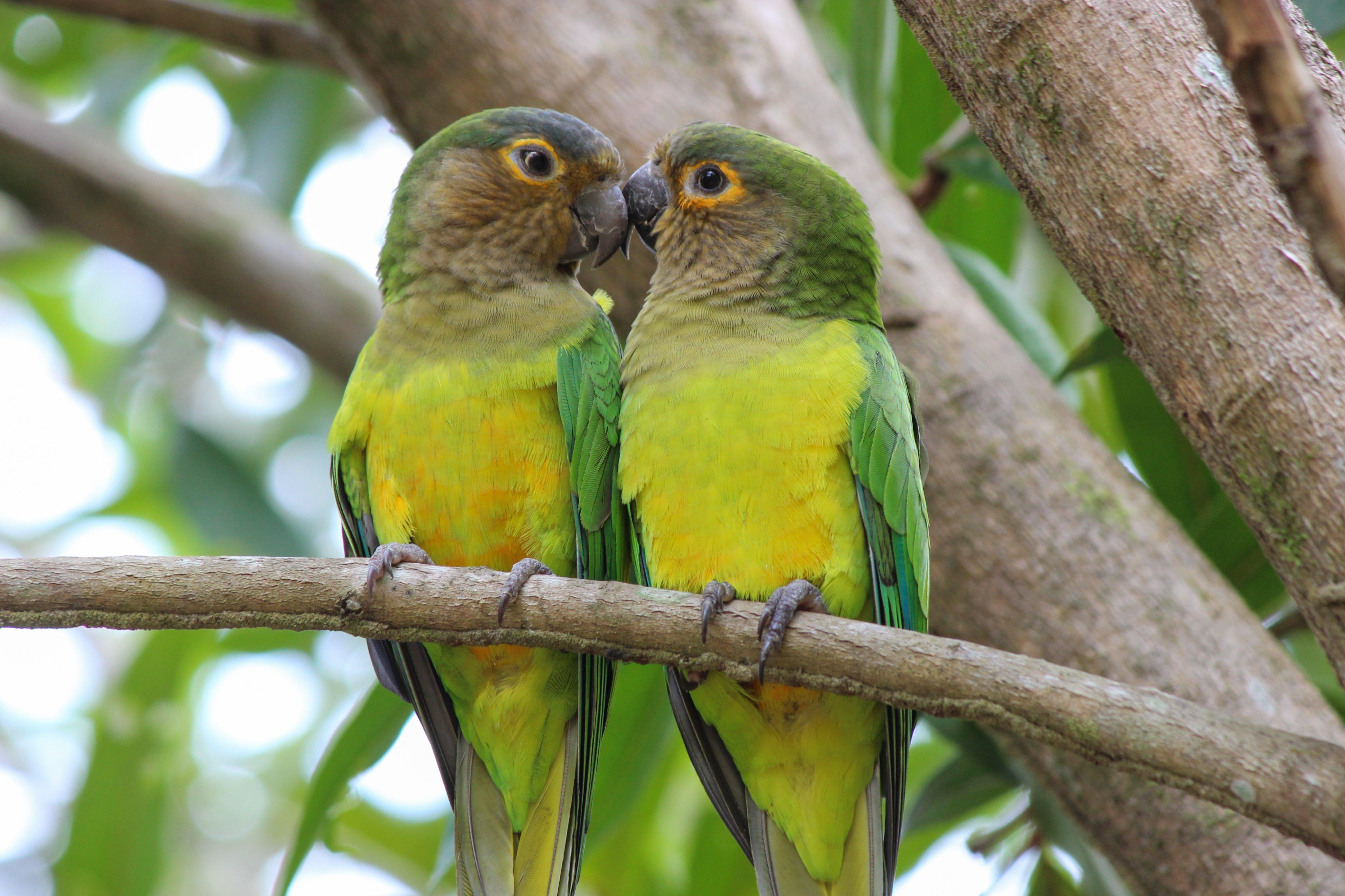 Free stock photo of brown-throated parakeet, cara sucia, carisucio, Eupsittula pertinax
