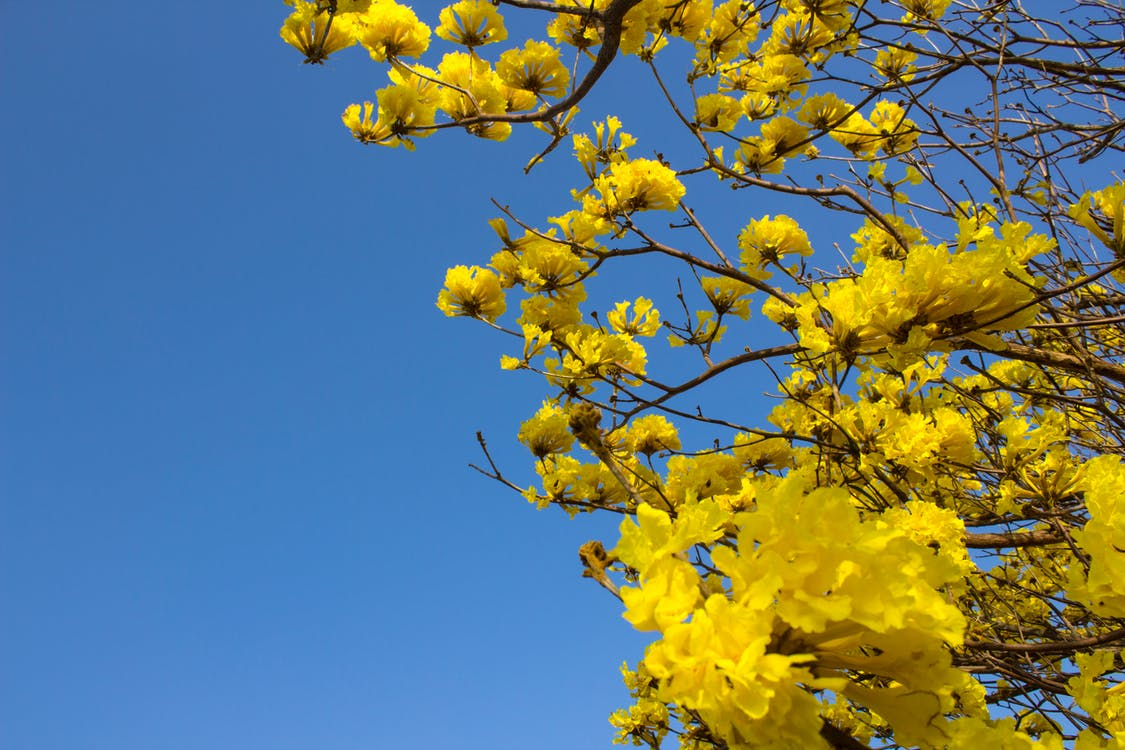 amarillo, árbol, casanare