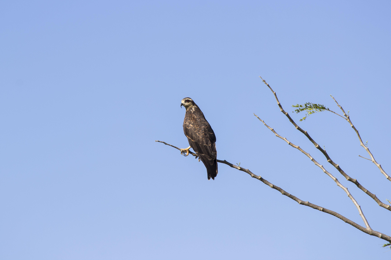 Free stock photo of casanare, colombia, eagle, llano