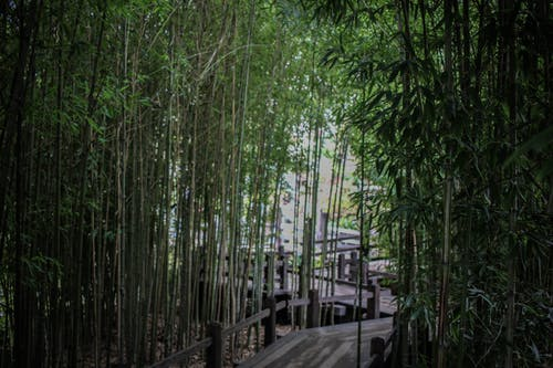 Free stock photo of bamboo, bamboo trees