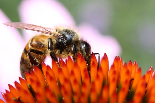 Close-up Photography of Honeybee on Orange Petaled Flower