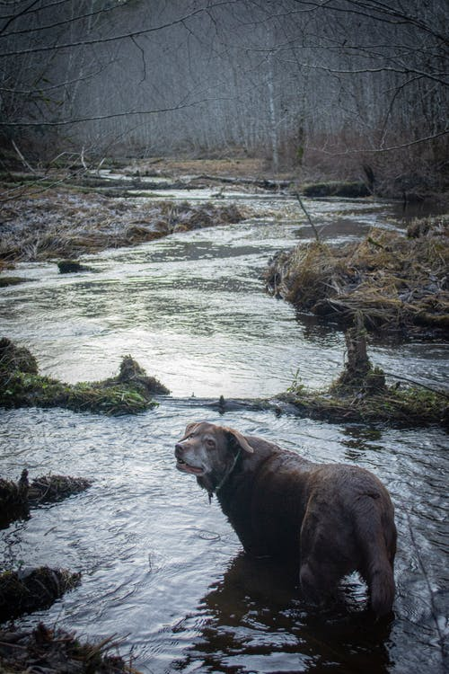 Free stock photo of chocolate lab, dog, dog in water, labrador