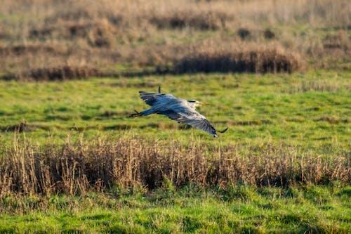 Free stock photo of bird, bird flying, flying