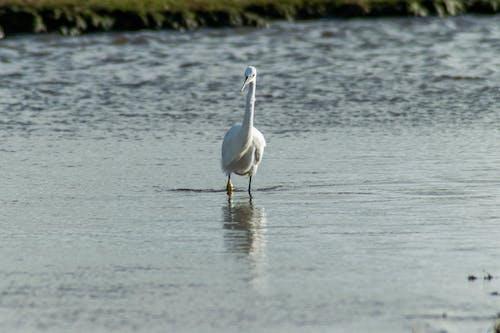 Free stock photo of bird, egret, little egret