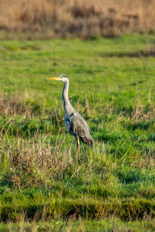 Grey Bird on Green Grass Field