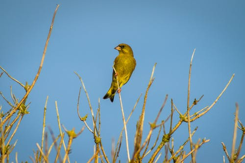 Free stock photo of green finch