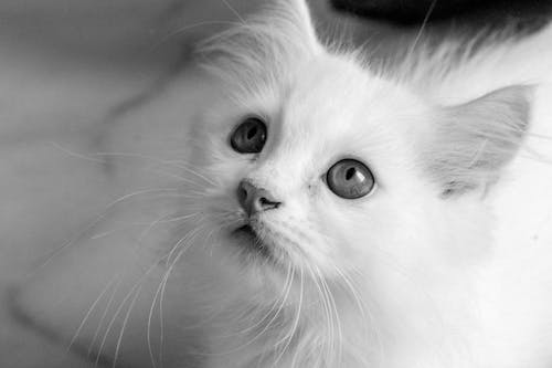 Close Up Photo of a White Cat