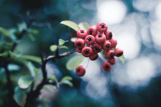 Kostenloses Stock Foto zu natur, rot, äste, früchte
