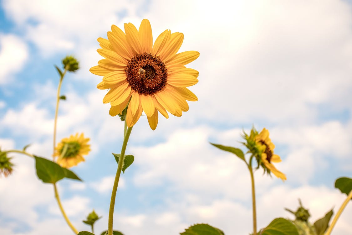 Low angle of gentle fresh sunflowers with bright yellow petals growing on rural field under cloudy sky