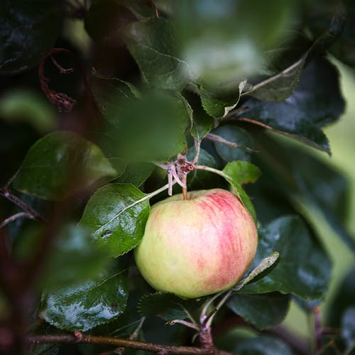 Fresh ripe apple hanging on tree with healthy shiny green leaves in garden on sunny day