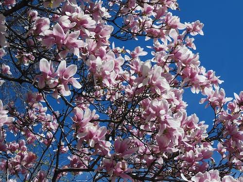 Δωρεάν στοκ φωτογραφιών με ανάπτυξη, άνθη κερασιάς, ανθισμένος, γαλάζιος ουρανός