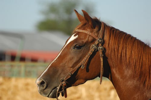 Close Up Photo of a Brown Horse