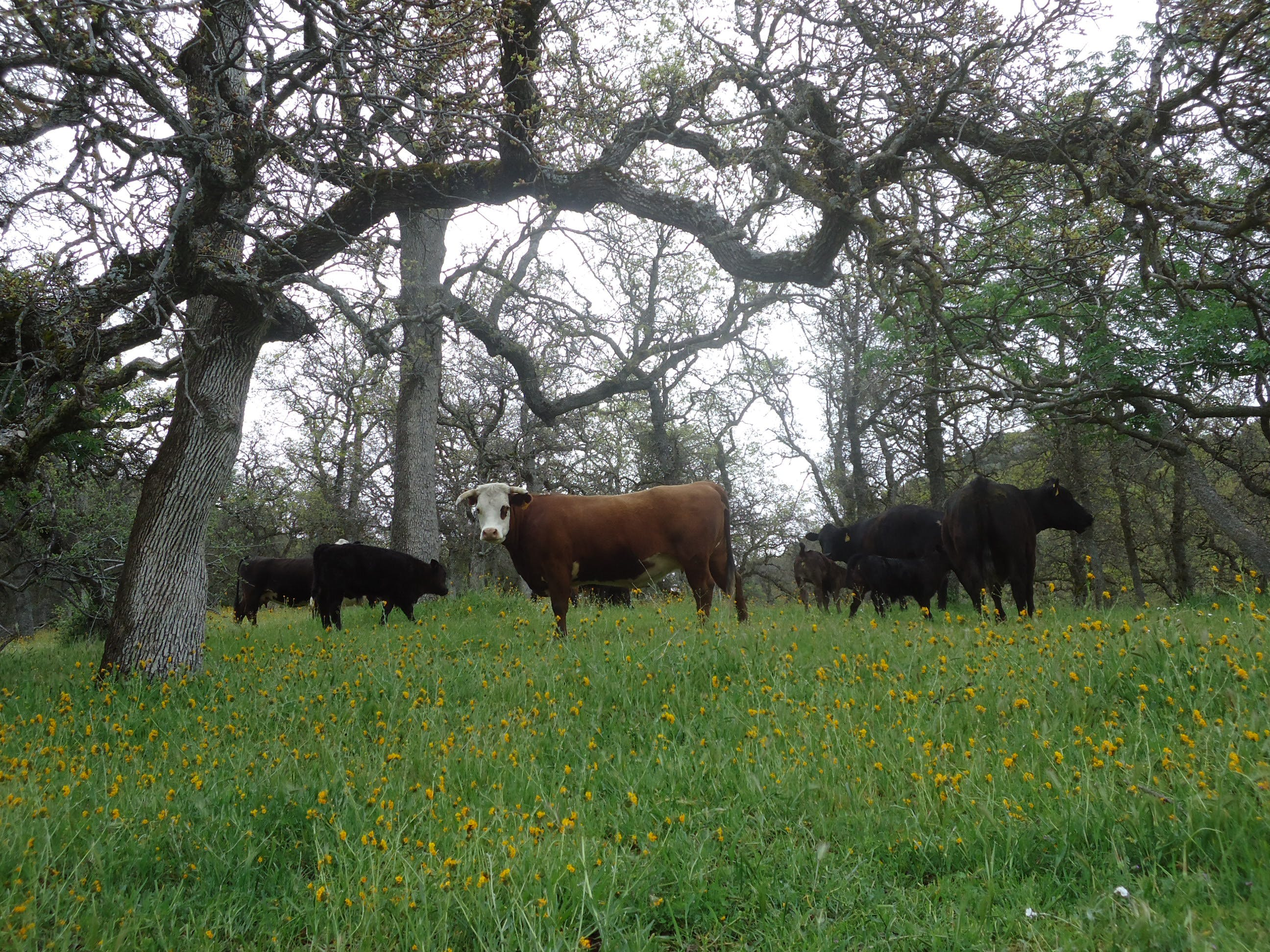 Free stock photo of beef, california, cattle, ranch  life