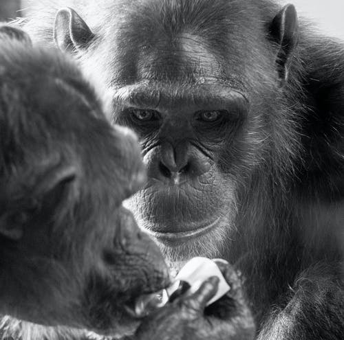 Close Up Photo of Chimpanzees in Grayscale Photography