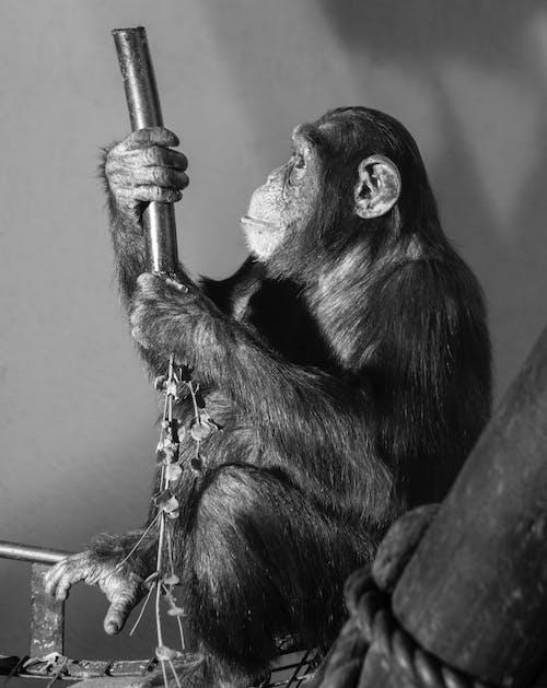 黑猴子在棕色的樹枝上