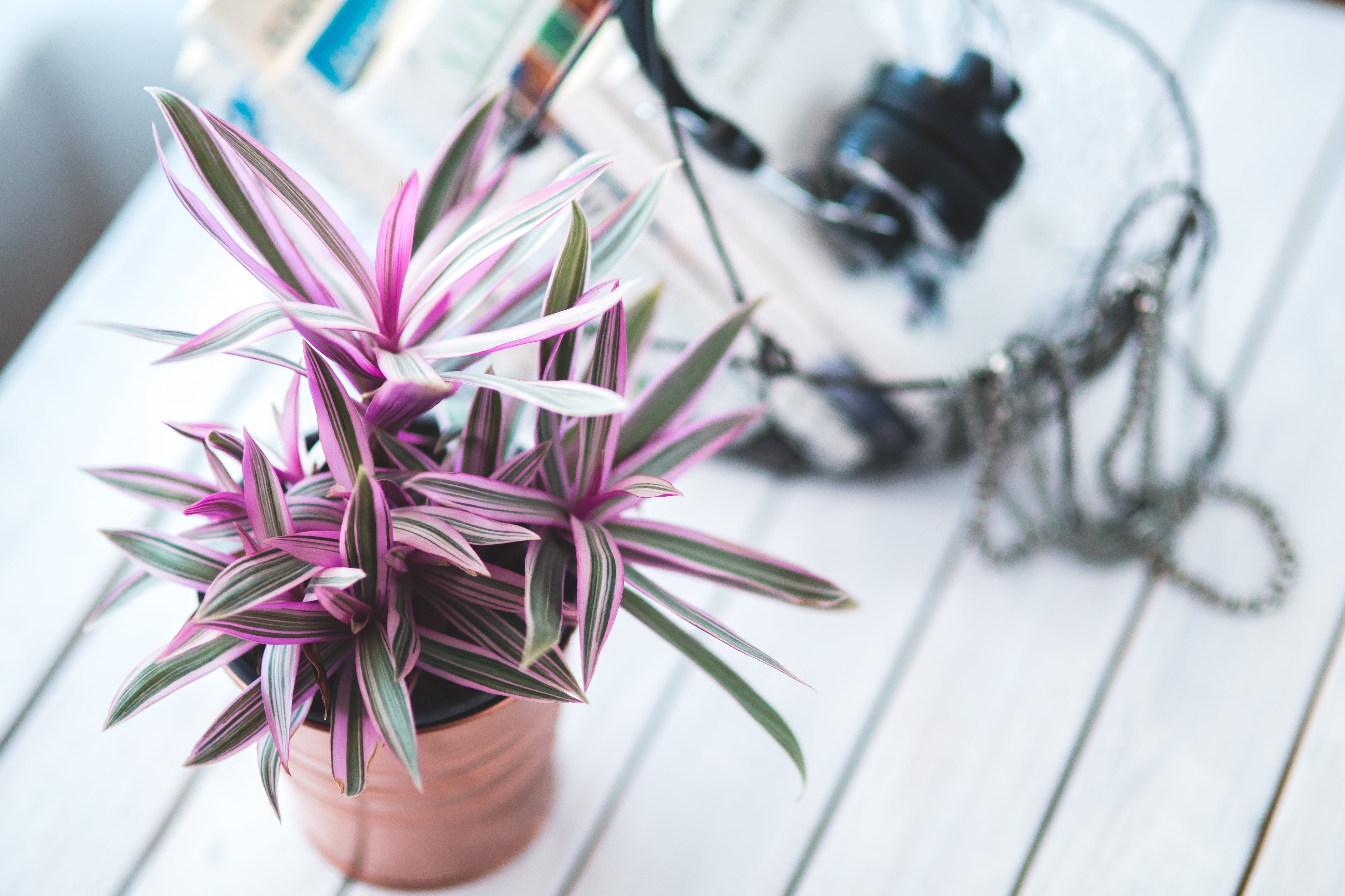 Pink houseplant for decoration