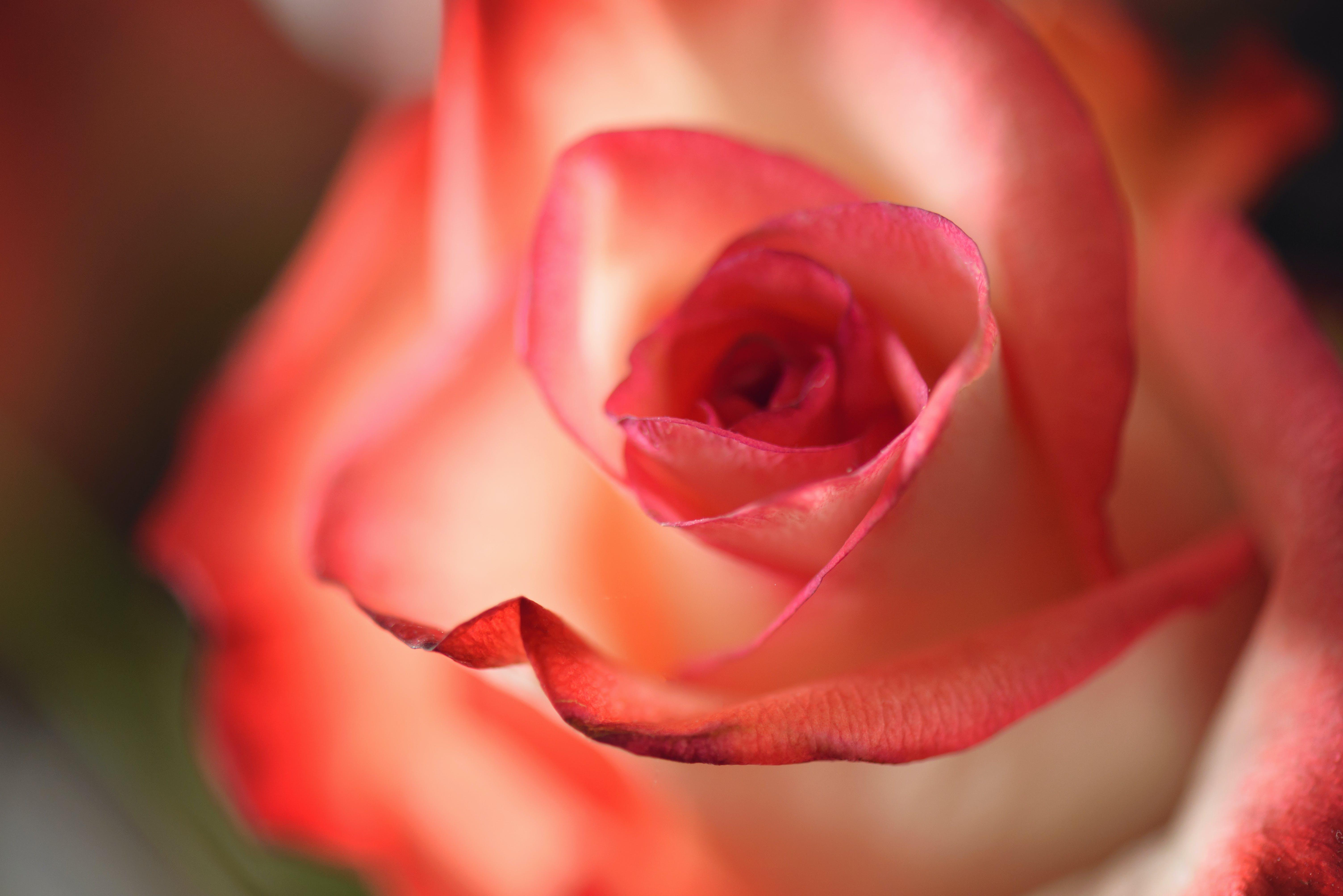 คลังภาพถ่ายฟรี ของ กลีบกุหลาบ, กลีบดอก, กำลังบาน, ครีม